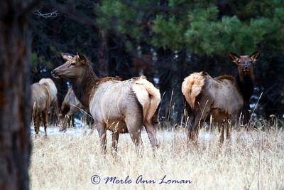 December elk in the Bitterroot