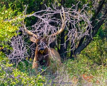 Bull Elk in the brush IMG_3337 8x10