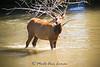 Cow elk in Mission Creek in early June
