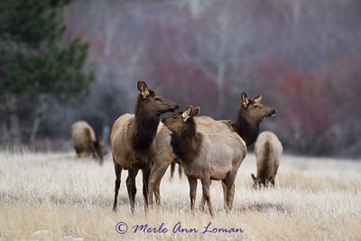 Elk - Cervus canadensis January 2013