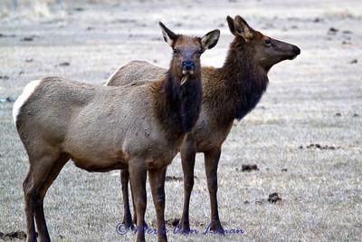 Two elk cows
