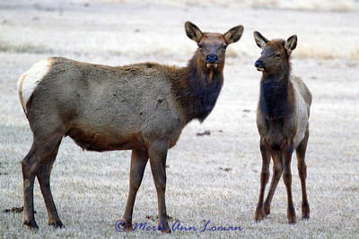 One elk cow and one calf.