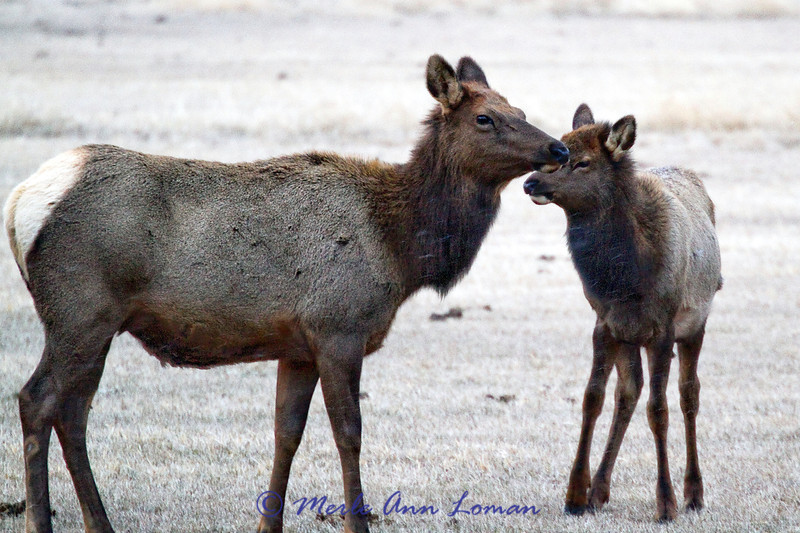 One elk cow and one calf