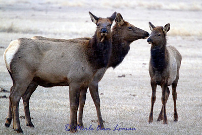 Two elk cows and one of the calves