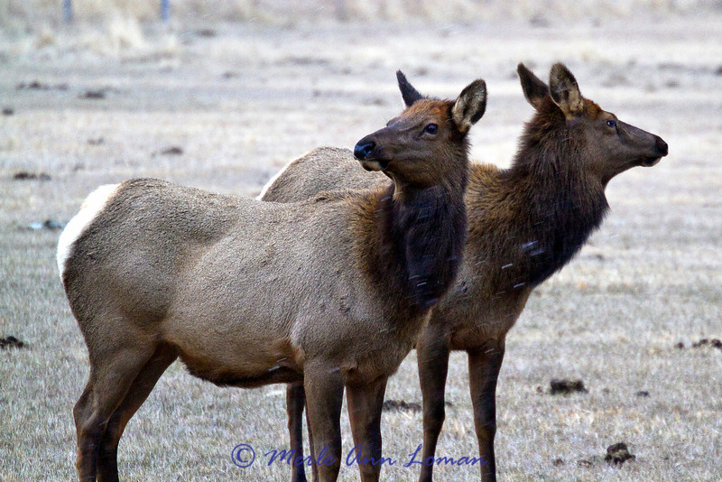 Two elk cows