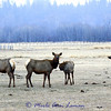 Two elk cows and two calves