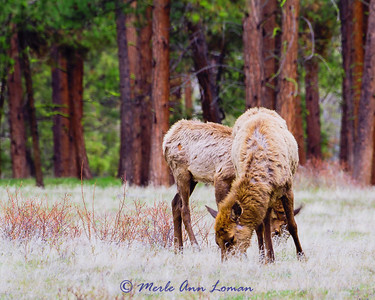 Really furry cow elk with last year's calf