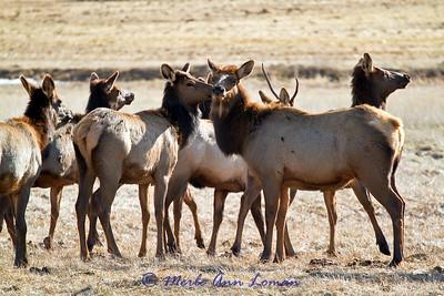 Small elk herd in January, 2011