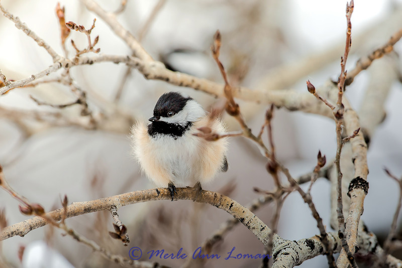 Brrrr. Black-capped Chickadee on Aspen branch.