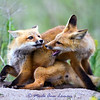 Fox kits - exercise in dominance. IMG_6493. See the original gallery for the story behind this and for more photos. A collection of these photos makes a great series over the fireplace or on any wall of your home of office. Taken west of Missoula near the banks of the Bitterroot River in June.
