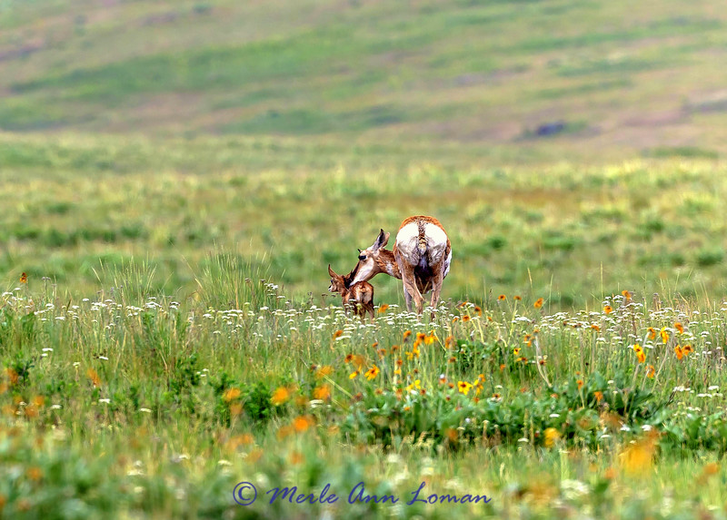 Pronghorn with newborn fawn IMG_8883 #MontanaMoment