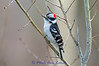 Male Downy Woodpecker on Aspen tree - Image 1692