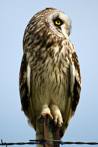 Profile of Short-eared Owl on a fence post in the Mission Valley in June. Image 6065,