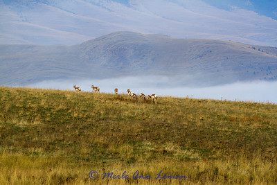 3. Pronghorn (antelope) - August Feature in the wall calendar