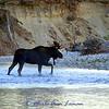 Bull moose on the Bitterroot River