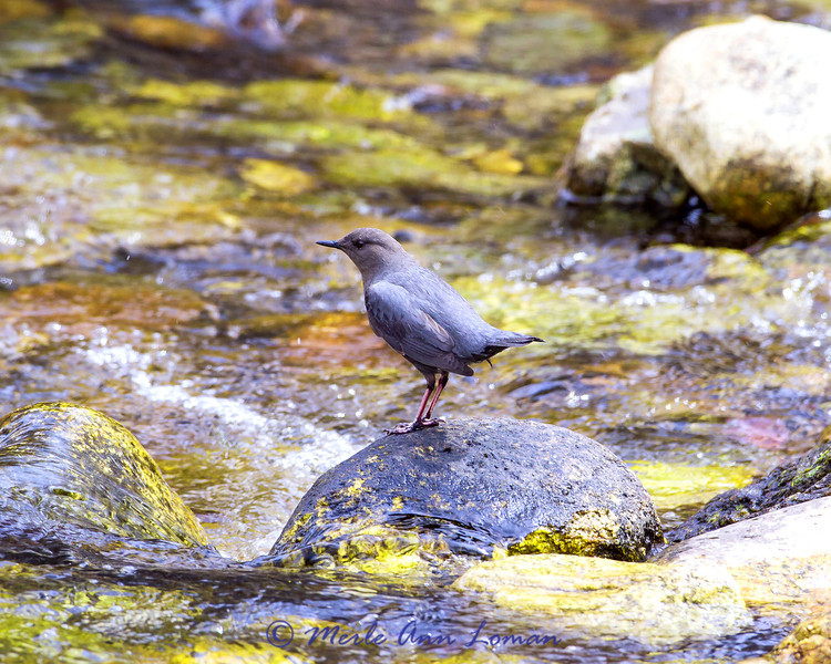 IMG_8839, American Dipper in Bear Creek