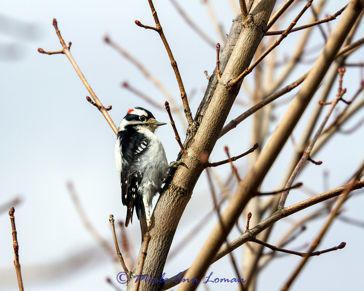 Downy Woodpecker - Picoides pubescens, 4:5