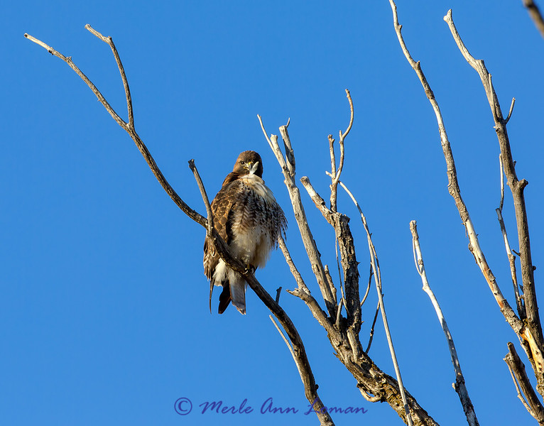 Red-tailed Hawk preening