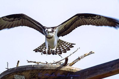 Brand new osprey nest at Lee Metcalf National Wildlife Refuge near Stevensville. Hasn't been up much more than a week and already tenants are moving in! Very cool. Image 8233.