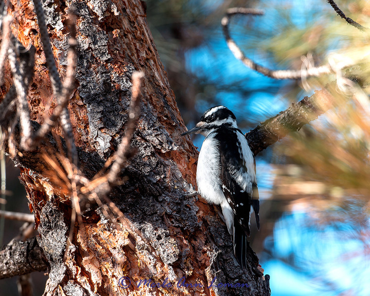 Female Hairy Woodpecker - Picoides villosus on a Ponderosa Pine tree in the Bitterroot Valley, Montana, USA. Early January.