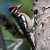 Red-napped sapsucker in the Bitterroot. Feeding the young.