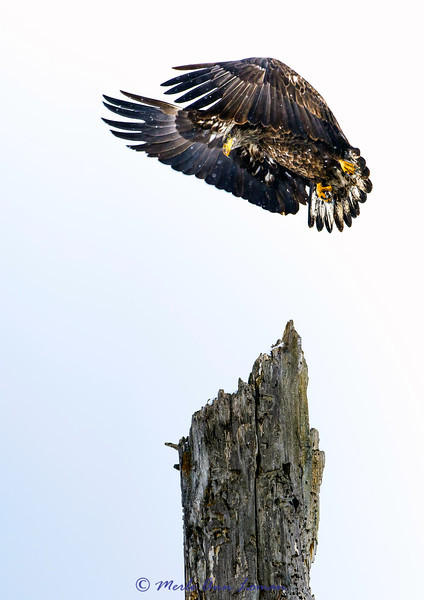 Immature Bald Eagle landing on snag (portrait) IMG_0548