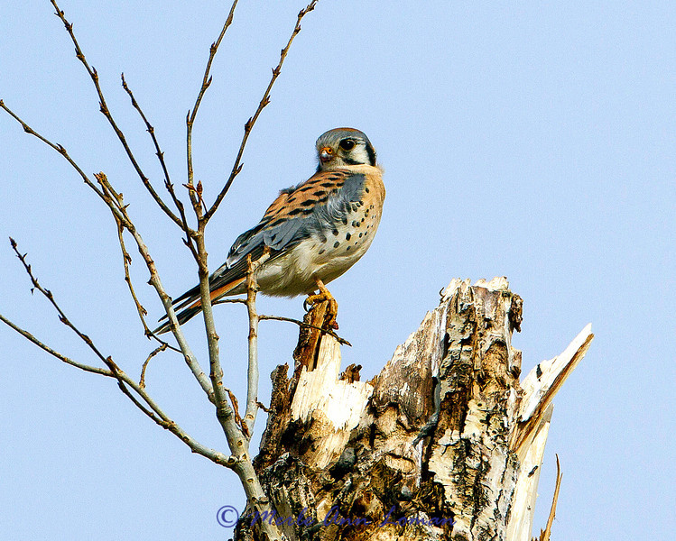 American Kestrel on a Cottonwood snag west of Victor, Montana USA in the Bitterroot Valley in March. Image 6399.