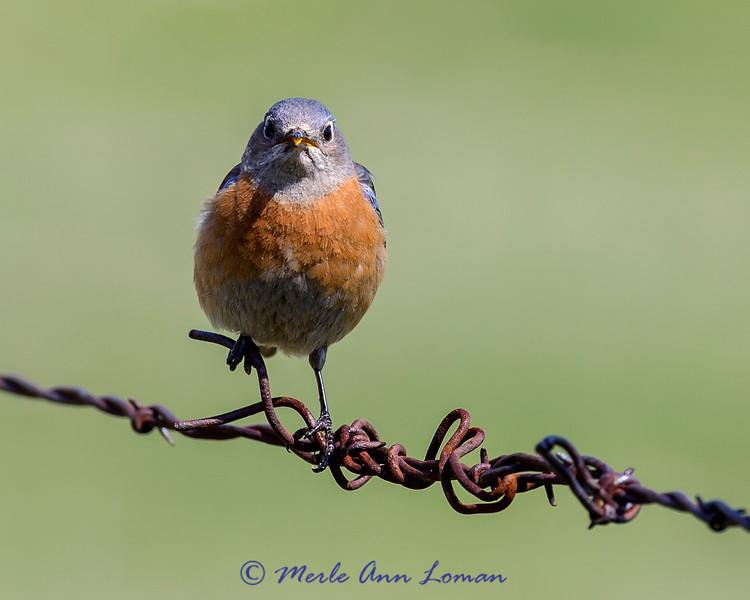Female Western Bluebird, IMG_0581