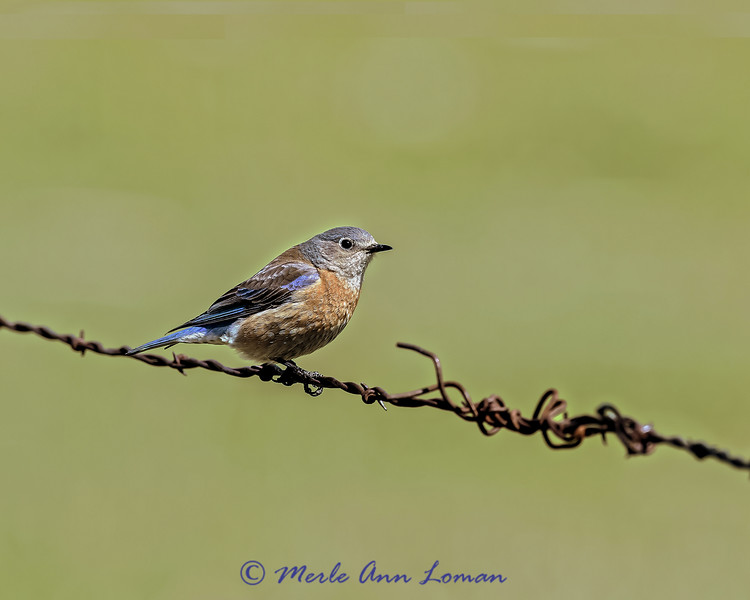 Female Western Bluebird, IMG_0574