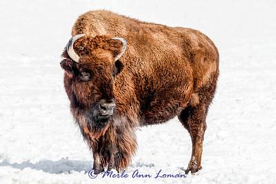 20150221-IMG_7797-Bison 2