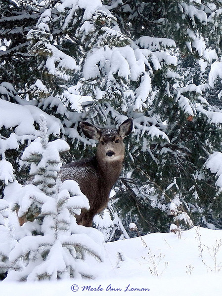 Mule deer in the winter