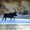 Bull moose on the Bitterroot River