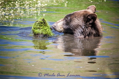 Bear, Black Bear cooling off in a pond. IMG_3740. See the original gallery for the story behind this and for more photos. A collection of these photos makes a great series over the fireplace or on any wall of your home of office. Taken in the Mission Valley and a pond on Pauline Creek in late June.