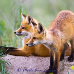 A pair of fox kits hanging out : Year-round resident in Montana. Taken near the Bitterroot River west of Missoula and Fort Missoula. There are a few more albums of these fox kits here http://amontanaview.smugmug.com/A-Montana-View-and-Other/Fox.