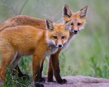 A pair of fox kits. IMG_6459. See the original gallery for the story behind this and for more photos. A collection of these photos makes a great series over the fireplace or on any wall of your home of office. Taken west of Missoula near the banks of the Bitterroot River in June.