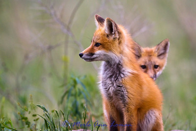 A pair of fox kits hanging out