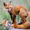 Fox kits at play - who's on top? IMG_6476. See the original gallery for the story behind this and for more photos. A collection of these photos makes a great series over the fireplace or on any wall of your home of office. Taken west of Missoula near the banks of the Bitterroot River in June.