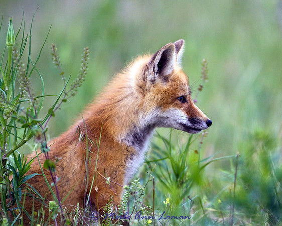 Red Fox - single kit in field