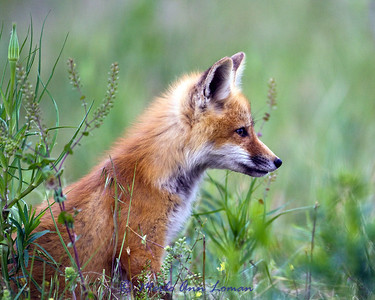 Red Fox - single kit in field