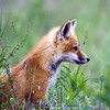 Fox kit profile. IMG_6267. See the original gallery for the story behind this and for more photos. A collection of these photos makes a great series over the fireplace or on any wall of your home of office. Taken west of Missoula near the banks of the Bitterroot River in June.