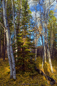 Fir tree disquised as an Aspen - IMG_1916