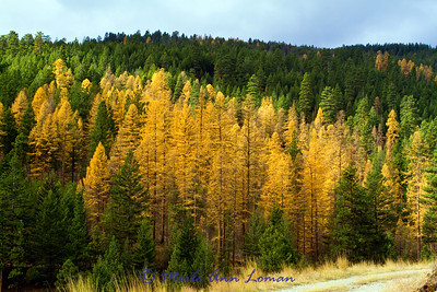 Western Larch - Larix occidentalis - Fall in the Bitterroot
