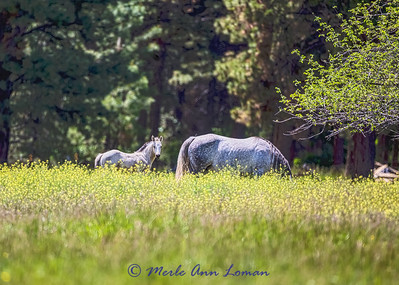 Mare and foal IMG_9369  ¯\_(ツ)_/¯ Please share and like the A Montana View Facebook page! Thanks so much for viewing. | visit www.amontanaview.com | #Photography #Montana #MontanaMoment #horse - Buy this photo at this link http://smu.gs/1QaJFoC