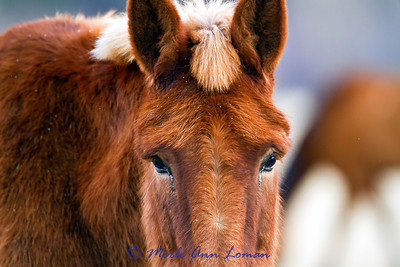 Portraits in January - mules and horses