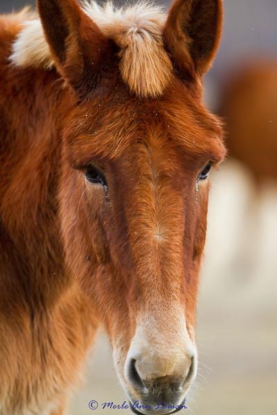 The same mule.