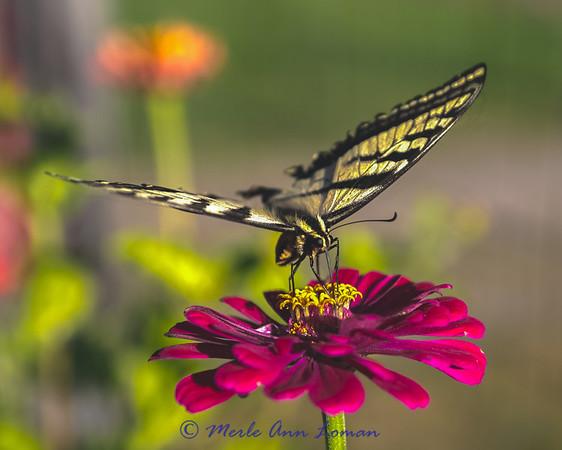 Butterflies on garden flowers