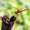 Cherry-faced Meadowhawk - Sympetrum internum
