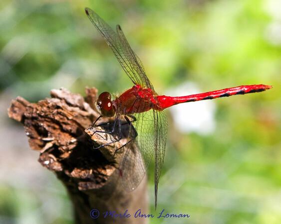 Cherry-faced Meadowhawk - Sympetrum internum