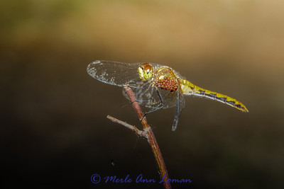 FemaleWhite-faced Meadowhawk (Sympetrum obtrusum