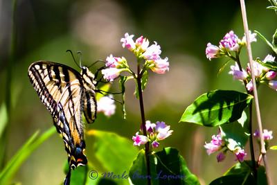 Western Tiger Swallowtail (Papilio rutulus) Taken 7/20/2010